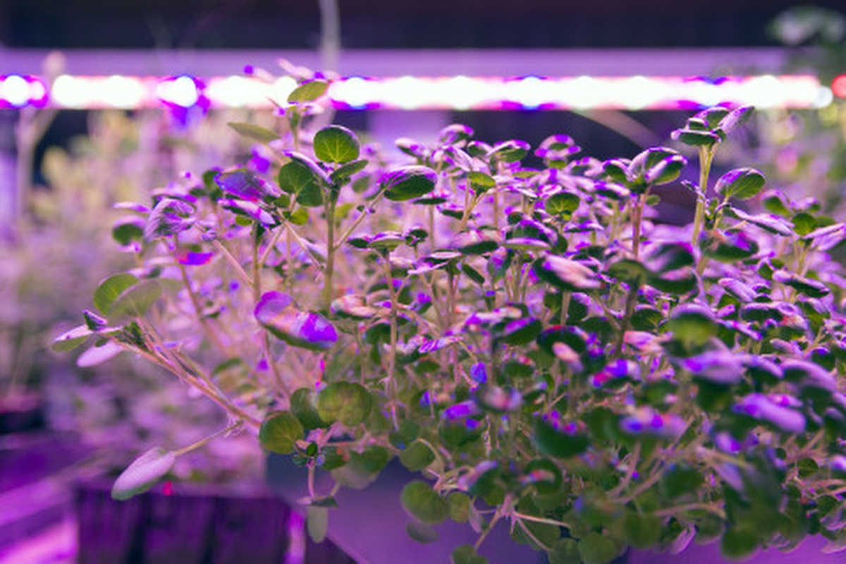 Baby watercress plants under Current by GE Arize LED lights, which deliver a balanced light spectrum